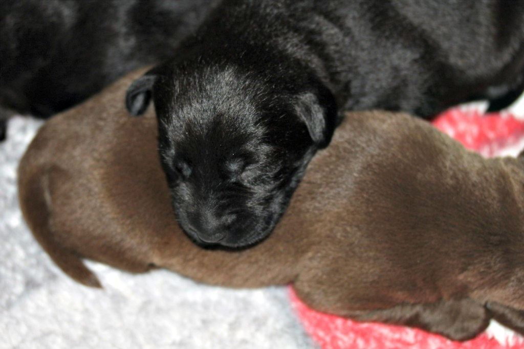 We are a breeder of english lab puppiesWe raise black chocolate and yellow labrador retrievers
