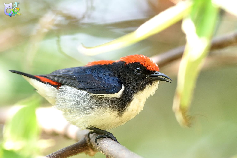 Scarlet-backed_Flowerpecker_2457
