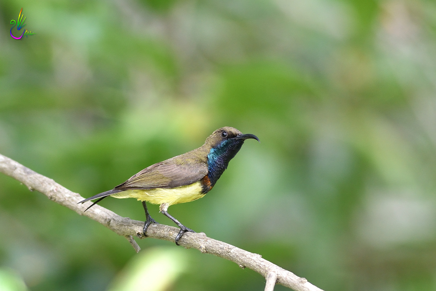 Olive-backed_Sunbird_2153
