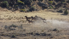 Wild horses running toward the corral