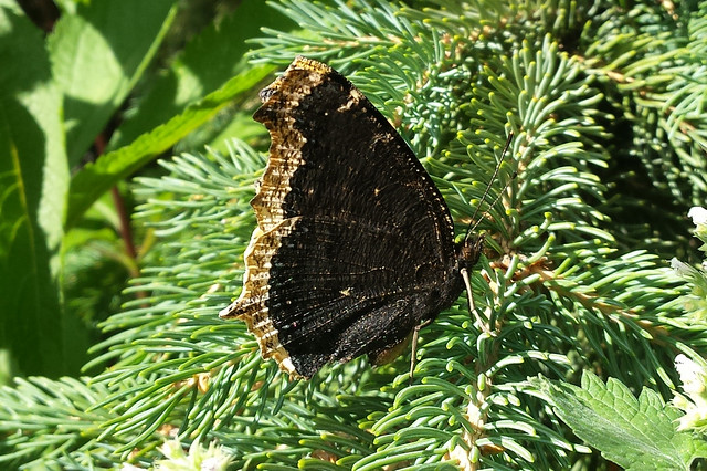side view of a dark brown butterfly with a line of lighter brown at the edge of the wings
