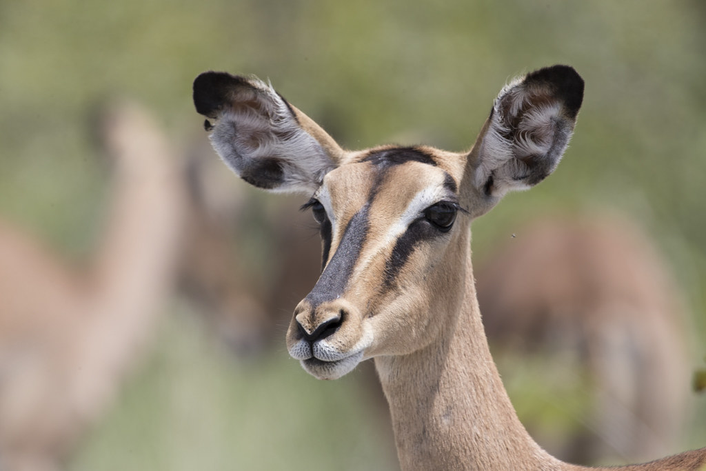Black-faced Impala