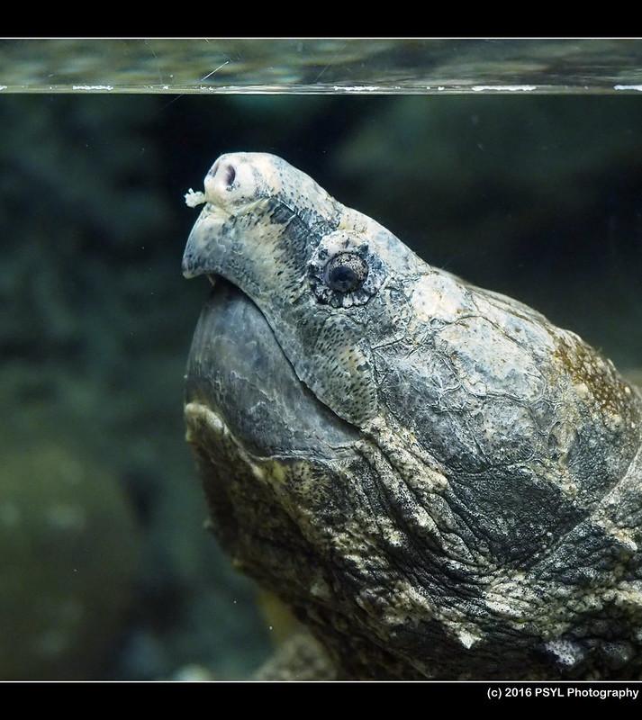 Alligator snapping turtle (Macroclemys temmincki)