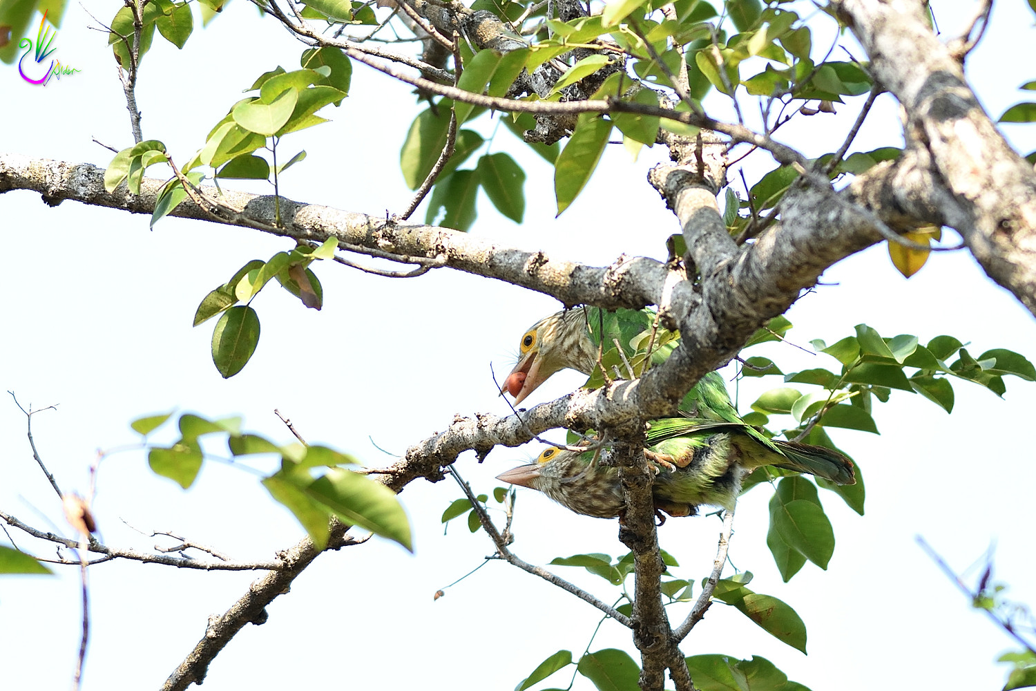 Lineated_Barbet_5912