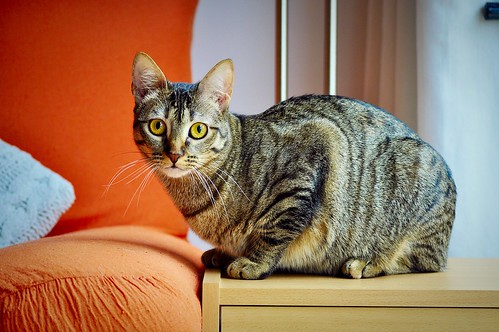 Muriel, gatita atigrada parda tímida y dulce esterilizada, de ojos cobrizos, nacida en Abril´16, en adopción. Valencia. 33245783035_1dccd7620d