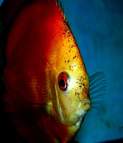 Discus: Red, Yellow, Blue | by Lee Nachtigal