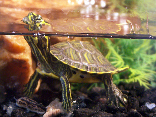 R Turtles Good Pets OUR PET TURTLE   Rocky...