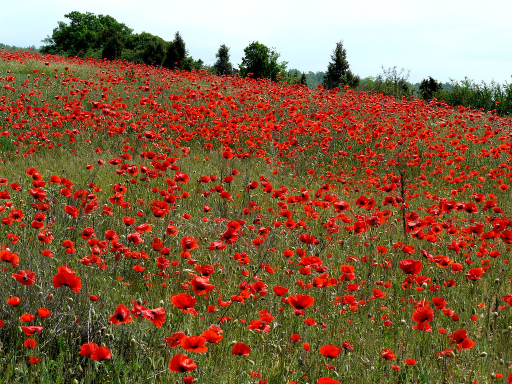 Crimea poppy seed flower field that photo was taken by my flickr poppy seed flower field by twilight tea mightylinksfo