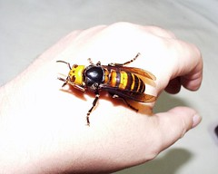 Asian Giant Hornet 2 | by JLplusAL