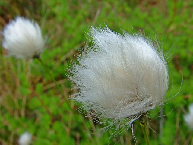 Cotton Weed This Also Grows In The Marshes Around