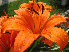 Wet Tiger Lily | by audreyjm529