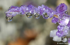 Water Drops on Salvia flower | by Martin_Heigan
