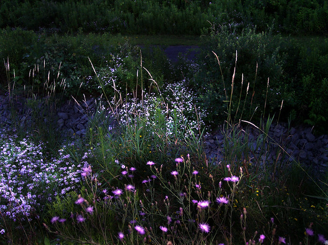 Wildflowers at Night, No. 02 | Ross G. Williams | Flickr