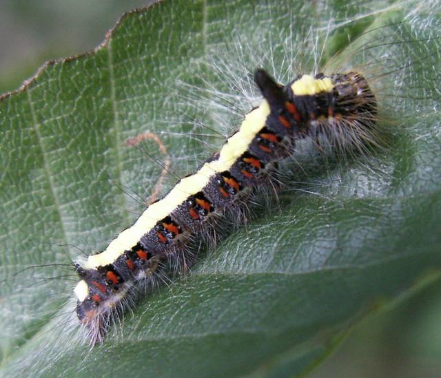 Gray Caterpillars That Are Big: Acronita Psi - Grey Dagger Moth Caterpillar