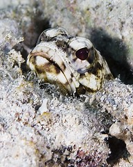 Dusky Jawfish [CCV 2006, 113-57] | by Reef Reflections