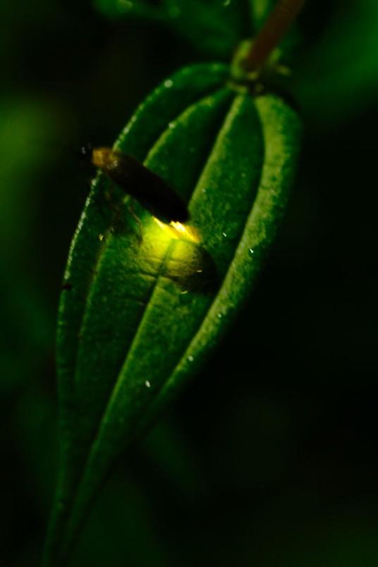 螢火蟲以發光互相溝通,閃燈勢必造成干擾,因此寧可增加ISO犧牲畫面解析度,以路燈為光源拍照即可。圖片來源:賴亦德