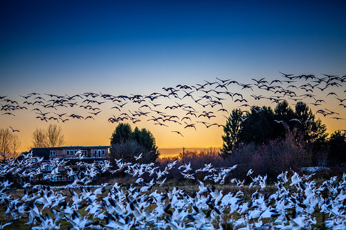 Snow geese at dusk