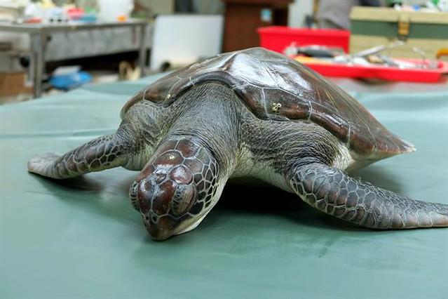 高雄西子灣外海發現已死亡的綠蠵龜,送至中興大學解剖查明死因。解剖後將製成骨骼標本,臟器則浸泡成標本於課堂教學使用。 中興大學公關組提供