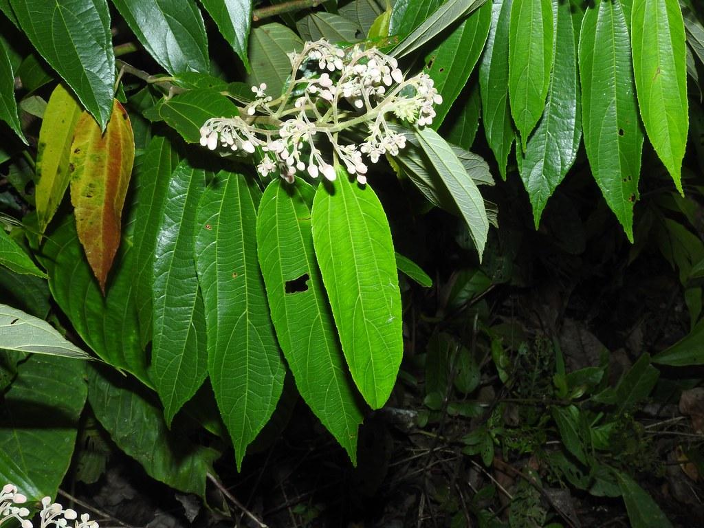 2016 2 >> Trichospermum grewiifolium (A. Rich.) Kosterm. * Juco blan… | Flickr