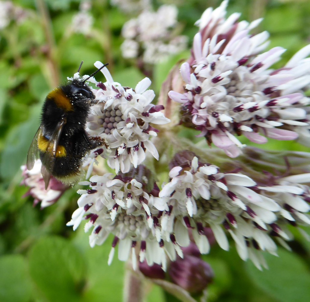 Winter heliotrope and bumblebee queen