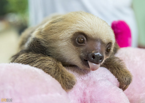 Hoffmann's two-toed sloth Gamboa Wildlife Rescue pandemonio 2017 - 17 | by Eva Blue