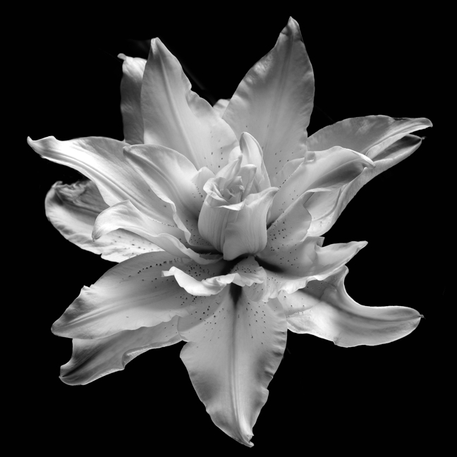 Rose Lily Monochrome