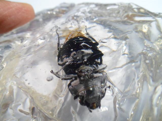 Insecte pris dans la glace 21952559512_3f6a12796e_z