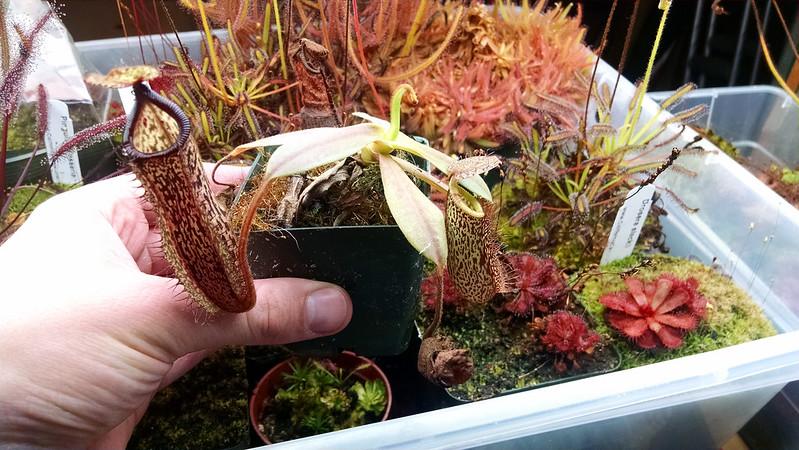 Nepenthes hamata × platychila.