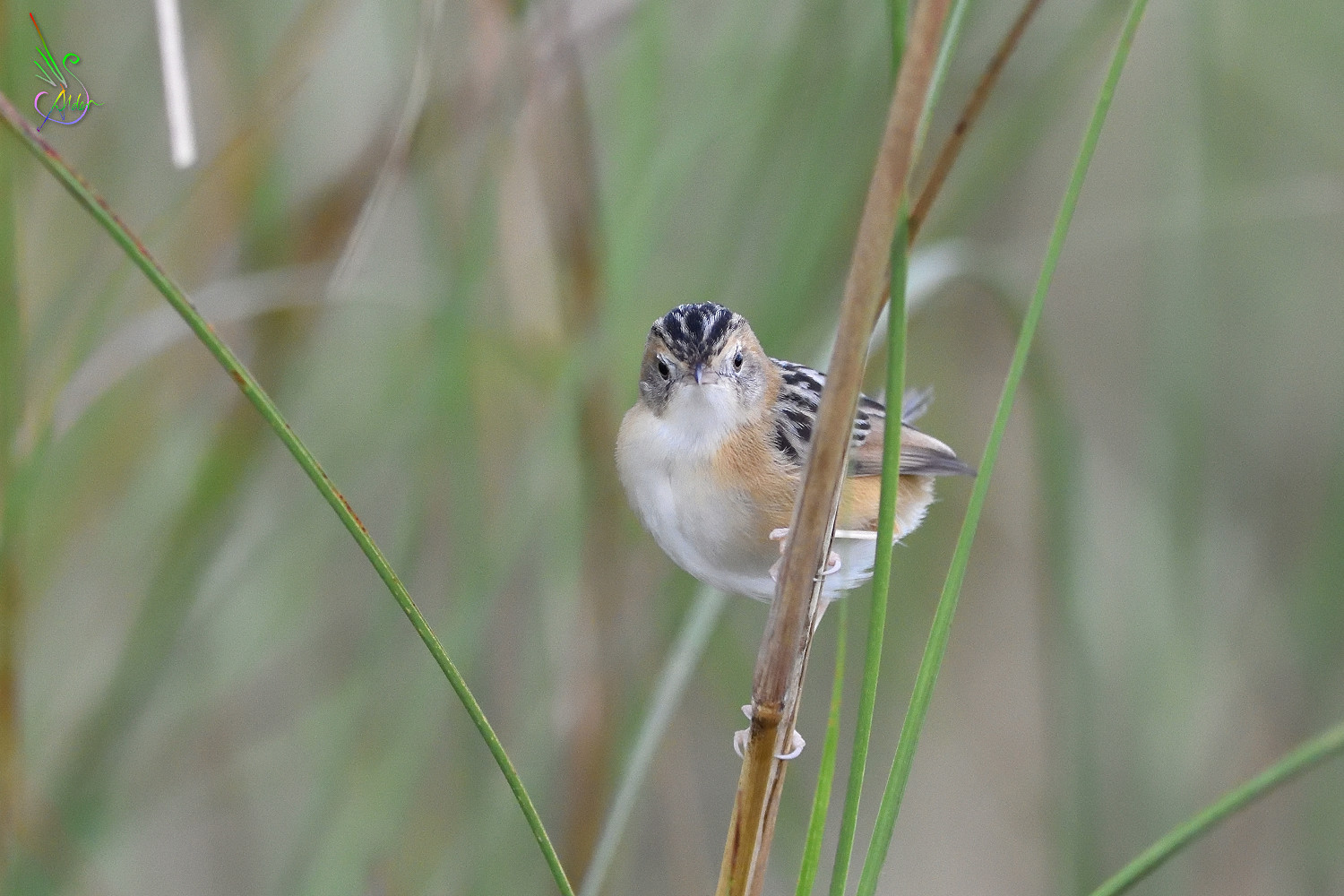 Golden-headed_Cisticola_7699