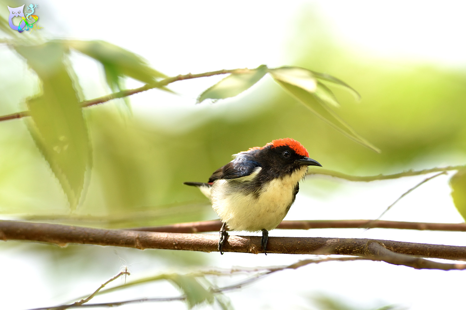 Scarlet-backed_Flowerpecker_2477
