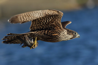 Peregrine Falcon | by bmse