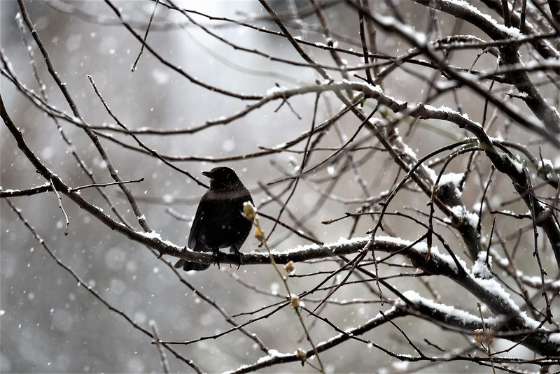 Blackbird 13.01 (4)