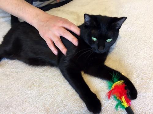 Morgana, gatita negra monísima, juguetona y tímida esterilizada, nacida en Julio´16, en adopción. Valencia. ADOPTADA. 32486902134_67ae67f1aa