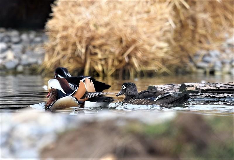 Ducks 03.03 (11)