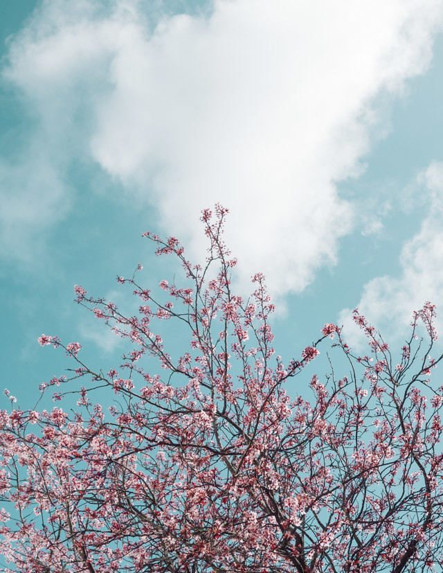 blossom and clouds