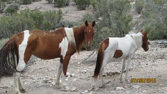 2015-07-30 (11)  Wild Horses-Wheeler Pass HMA-Cold Creek Area