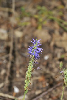 Western Spiked Speedwell | by markhows