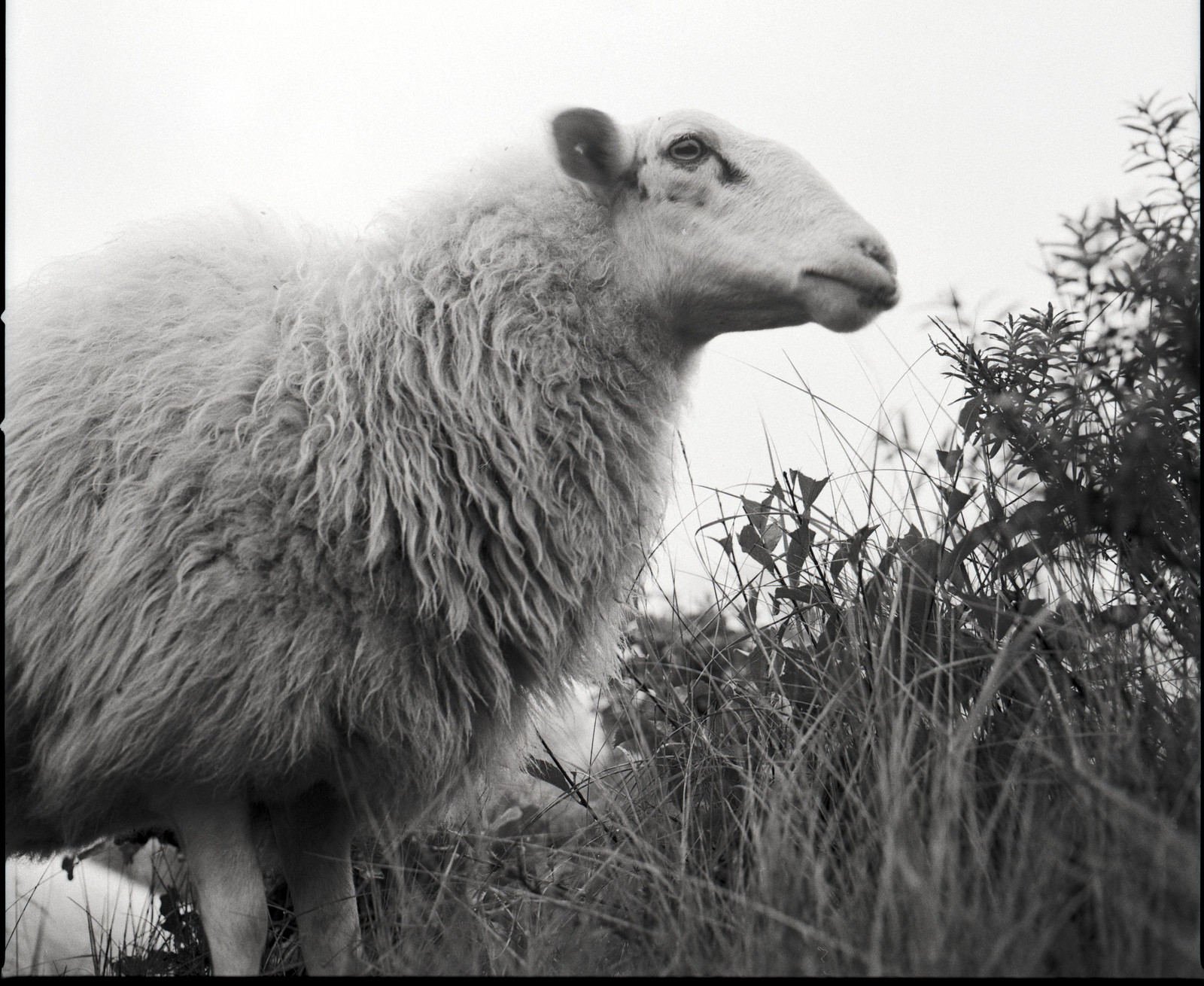 Portrait of a Sheep on Adox CHS II | by Mark Dries