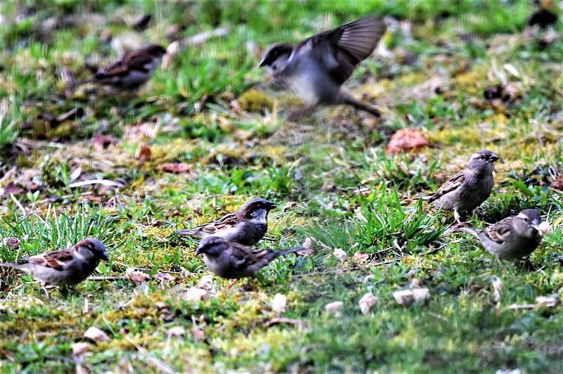 Sparrows 05.03 (4)