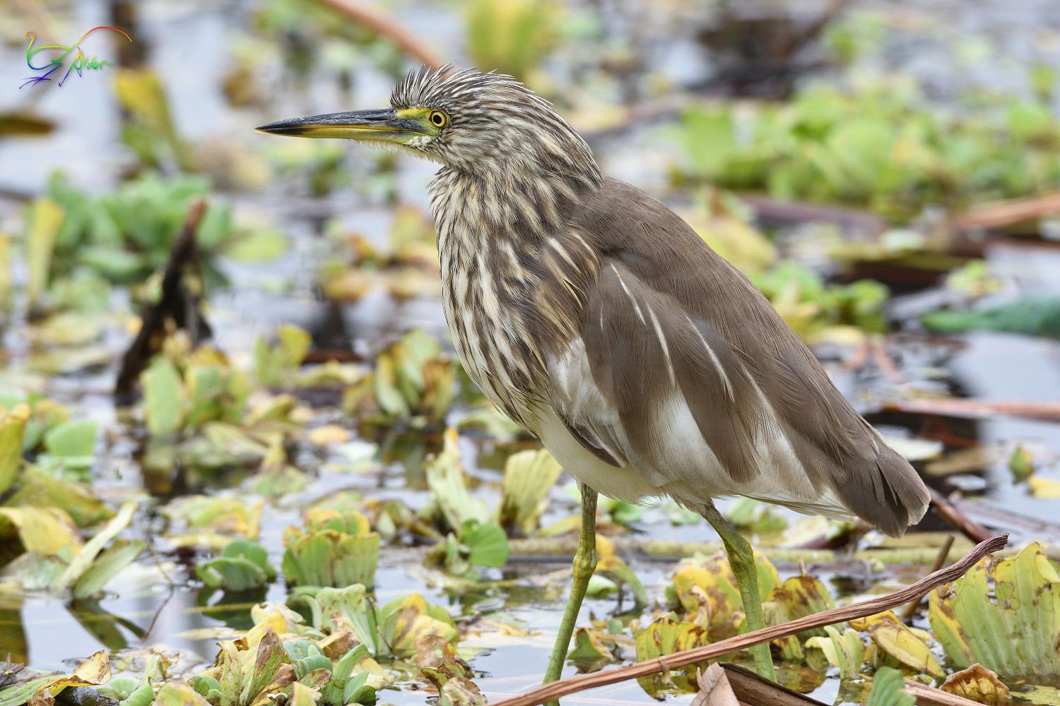 Chinese_Pond_Heron_3623