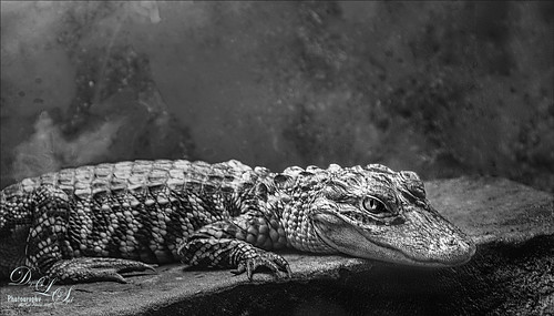 Black and white image of a small alligator