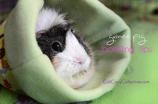 Guinea pig bonding tips | by Cali Cavy Collective
