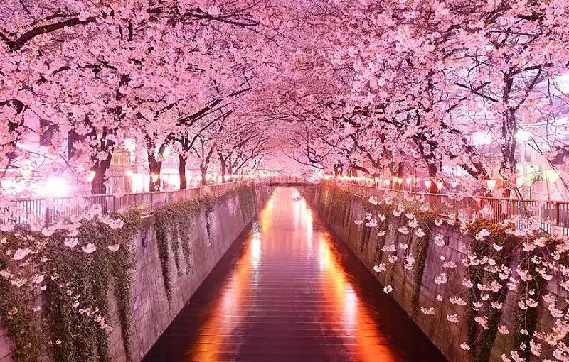 breathtaking_photo_of_sakura_tunnel_in_japan