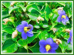 Scented Exacum affine (Persian Violet, Exacum Persian Violet) flowers that attracted a honey bee, 14 June 2013 in our garden