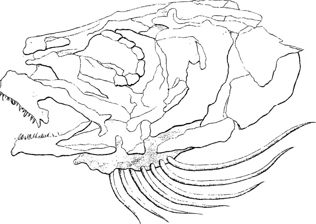 Image From Page 30 Of Morphology Of The Vertebrata Dog F