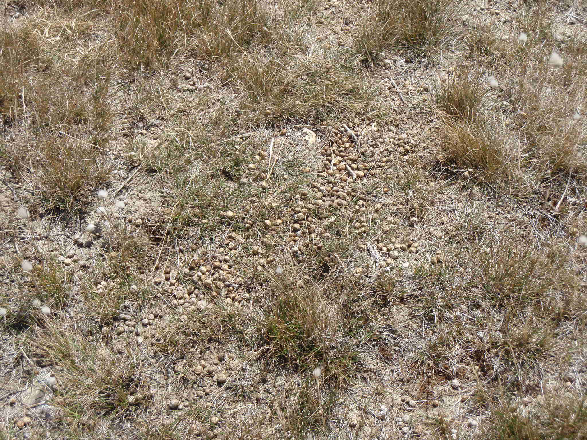 An example of a fresh rabbit buck heap, areas with a lot of these indicate a high number of rabbits present.