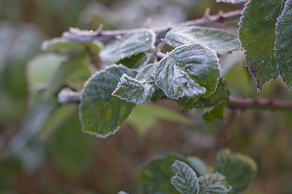 frost, frosty leaves, ice, icy leaves, frosty leaves, frost plants, plants, spring, fog, january