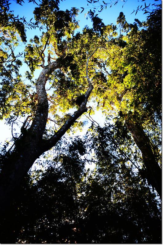 登幾阿佐名途中巨木 1