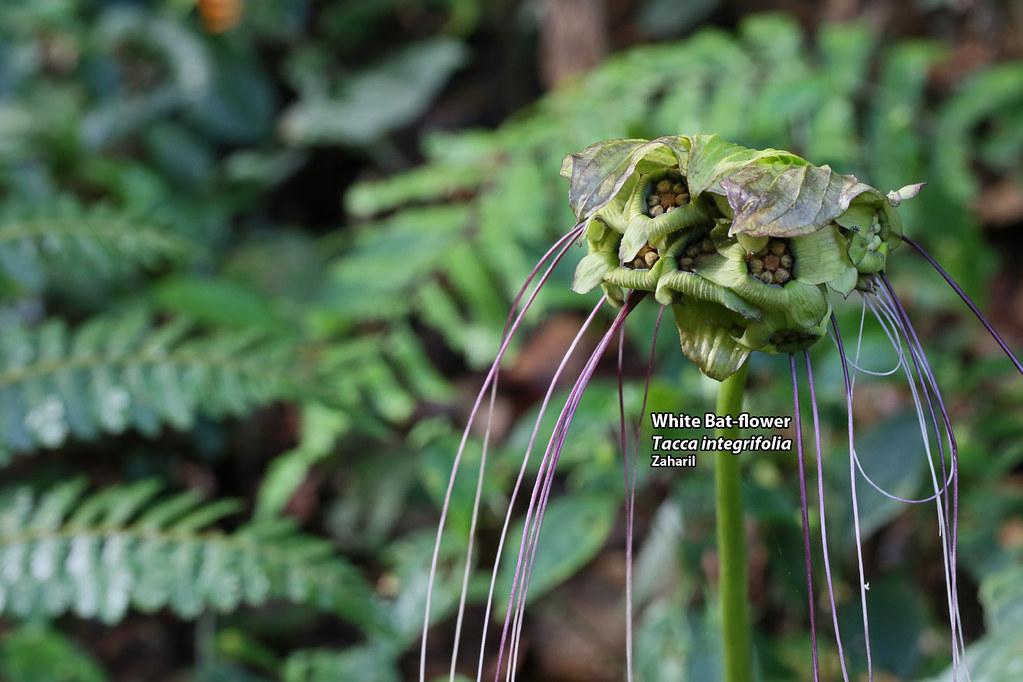 White bat flower tacca integrifolia zaharil dzulkafly flickr white bat flower tacca integrifolia by zaharil mightylinksfo