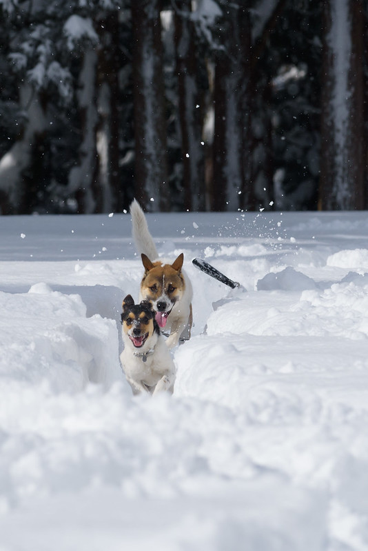 Dogs run around in the snowy field pleasing.